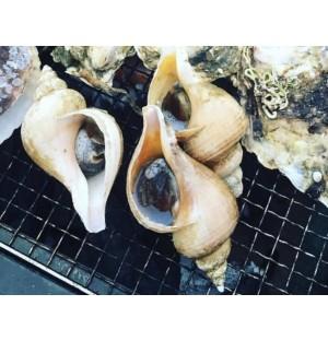 Tsubugai (Whelk) / ツブ貝